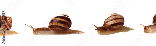 Canvas Print Grapevine snails on white background