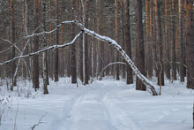 Leaning Tree Over Forest Road