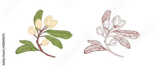Fotografia Colored pistachio tree branch and unpainted outlined sketch of pistache plant with ripe nuts in shells and leaves