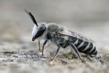 Closeup Of A Male Solitary Plasterer Bee Colletes From Southern France