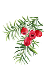 Watercolor Illustration Of Branches With Red Fruits Of Taxus For Beautiful Healthy Design On White Isolated Background. Watercolor Yew, Botanical Illustration.