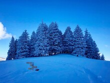 Snow Covered Pine Trees In Forest Against Blue Sky