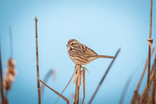 Song Sparrow On Reed