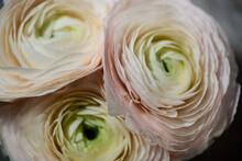 Three Gently Pink Rose Flowers Macro