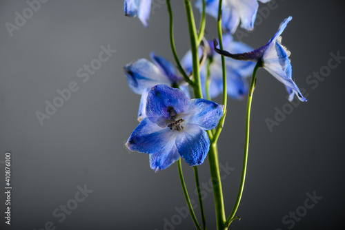 Fotografie, Obraz sprig delphinium on a gray background close-up