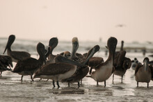 Pelicans On The Shore