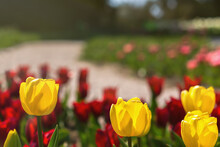 Yellow And Purple Tulips Bloom In The Garden In Spring. Beautiful Spring Flower Background. Soft Focus And Bright Lighting. Blurred Garden Background.A Flower Bed In Bright Sunlight. Macro, Copy Space