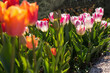 Pink and red tulips in the garden in the garden. Beautiful spring flower background. Soft focus and bright lighting. Blurred garden background. A flower bed in bright sunlight. Macro, copy space