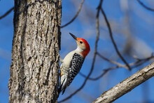 A Male Red-bellied Woodpecker Clings To A Tree Trunk On A Cold Winter Day With A Clear Blue Sky In The Background.