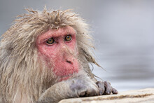 Elderly Macaque Monkey Sat In The Hot Springs At The Snow Monkey Park.