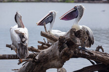 Three Pelicans Rested On A Branch.