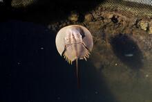 Closeup Top View Of A Horseshoe Crab Marine Arthropod In A Water