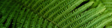 Green Fern Leaves Petals Background. Vibrant Green Foliage. Tropical Leaf. Exotic Forest Plant. Botany Concept. Ferns Jungles Close Up. Jungle Atmosphere And Calm Zen Meditation