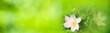 Leinwandbild Motiv Spring flowers background banner - wood anemones with abstract green bokeh lights