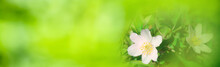Spring Flowers Background Banner - Wood Anemones With Abstract Green Bokeh Lights