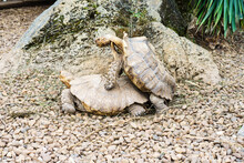 Couple Of Turtles Mating On The Stones In The Zoo