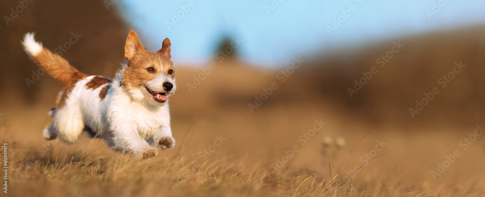 Fototapeta Playful happy cute smiling pet dog puppy running, jumping in the grass. Web banner.