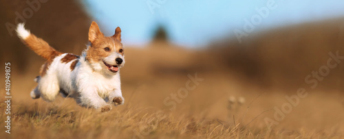 Obraz Playful happy cute smiling pet dog puppy running, jumping in the grass. Web banner. - fototapety do salonu