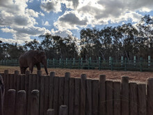 Elephant Behind The Wooden Fence In A Zoo