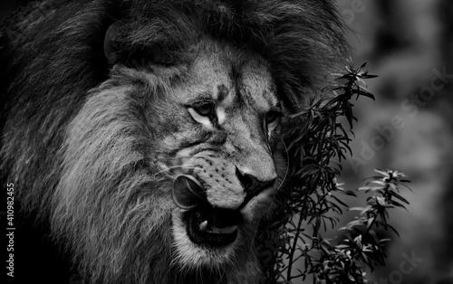 Fototapeta Close-up Portrait Of A Lion Black And White