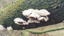 Most Polypores Are Edible Or At Least Non-toxic. Bracket Fungi, Or Shelf Fungi Produce Shelf- Or Bracket-shaped Or Occasionally Circular Fruiting Bodies Called Conks. They Are Mainly Found On Trees