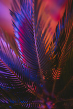 Sago Palm Or Cycas In An Very Old Kind Of Tree, Home Plants With Neon Color