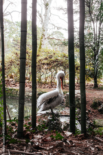 Fotografía white pelican in the park near bamboos and pond