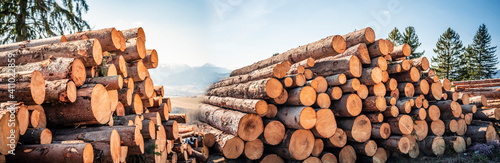 Obraz Log spruce trunks pile. Sawn trees from the forest. Logging timber wood industry. Cut trees along a road prepared for removal. Panorama - fototapety do salonu