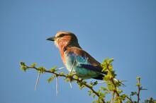 Beautiful Bird On A Thorny Bush With Blue Sky