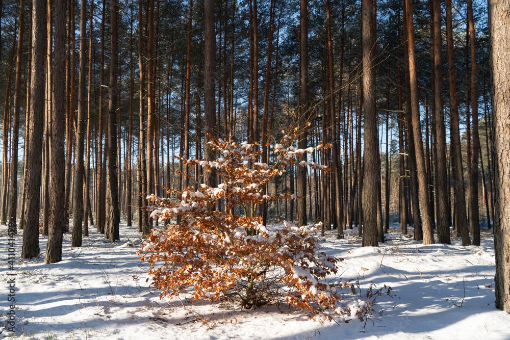 Fototapeta Zima w lesie, młody Buk pokryty śniegiem