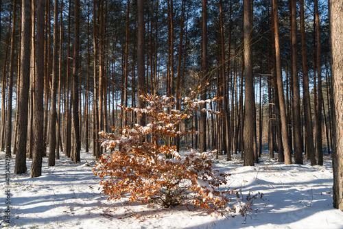 Obraz Zima w lesie, młody Buk pokryty śniegiem - fototapety do salonu