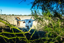 Texas Longhorn Cows On The Pasture In Texas