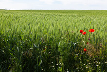 Red Poppies Grow At The Edge Of A Wheat Field