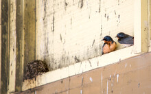 Baby Swallows Emerge From Their Nest In The Top Of A Barn. Soon They Will Take Off And Fly