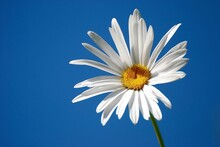 Close-up Of White Daisy Against Blue Sky
