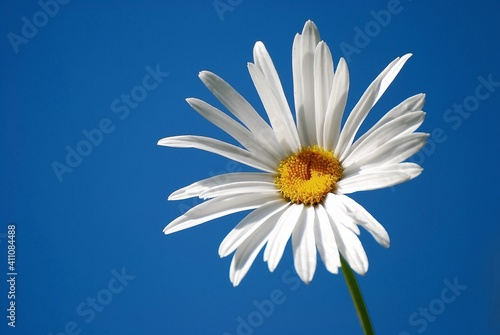Fotografering Close-up Of White Daisy Against Blue Sky