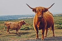 Highland Cattle Standing On Land Against Sky