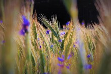 Close-up Of Purple Flowering Plants Growing On Field