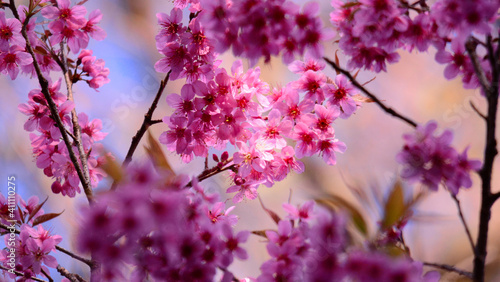 Obraz na plátně Close-up Of Pink Cherry Blossoms In Spring