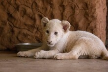 Lion Cub Relaxing On Floor
