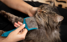 The Girl Is Combing The Cat's Fur