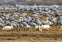 Birds Flock Of Migrating Cranes And Swans In A Field In The Spring