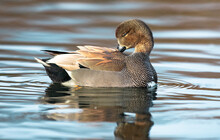 Closeup Shot Of A Brown Duck Swimming In A Lake