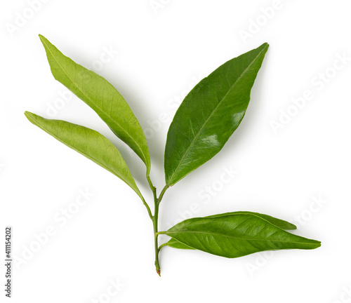 Fototapety, obrazy: mandarin leaf isolated on a white background
