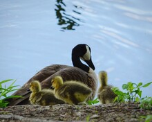 Mother Canada Goose With Goslings