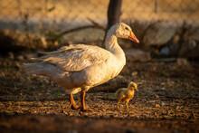 Mother Goose And Gosling Walk Around Pen