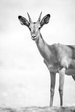 Mono Close-up Of Young Male Common Impala