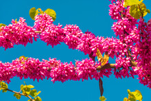 Pink Flowers Blossom Of Eastern Redbud Small Decorative Tree Aka Japanese Cherry Or Sakura At Late Spring, Germany, Closeup, Details