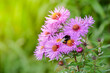 canvas print picture - Michaelmas Daisy, Aster amellus flower, the pink daisies flowers with big bee eating carpel of flower in Queen park, Bolton, England, select focus.