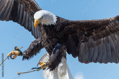 Close Up Of A Bald Eagle Flying In A Falconry Demonstration. Wallpaper Mural